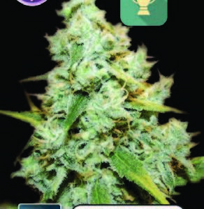 Amnesia Mac Ganja FEMINISED SEEDS
