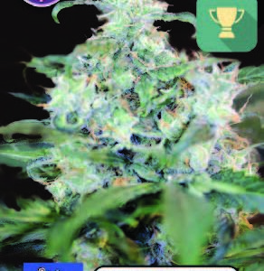 Amsterdam Cheese FEMINISED SEEDS