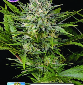 Royal Queen Diamond FEMINISED SEEDS