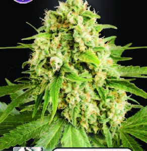 Skunk FEMINISED SEEDS