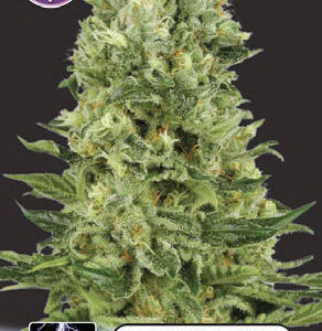 White Thunder FEMINISED SEEDS