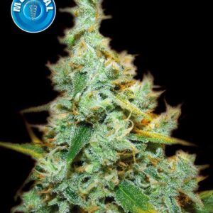 Amsterdam Medical Seeds Amnesia Mac Ganja