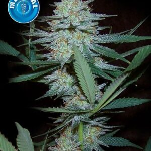 Amsterdam Medical Seeds Crazy Mouse