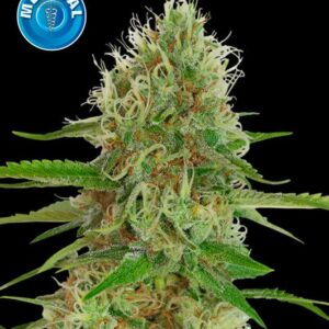 Amsterdam Medical Seeds White Widow